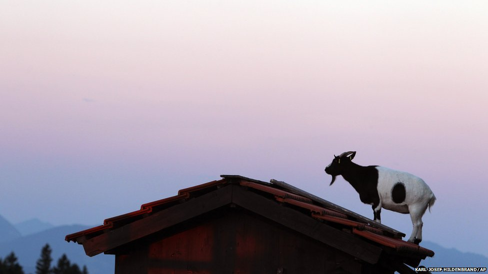A goat stands on the roof of a hut