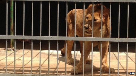 A lion at a zoo in Ethiopia (16 September 2013)