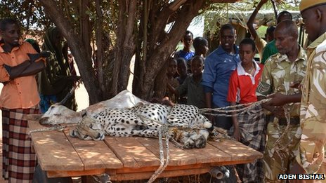People in Wajir looking at one of the captured cheetah with a dead goat displayed on a table, Kenya