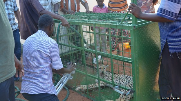 A cage cheetah in Wajir, Kenya
