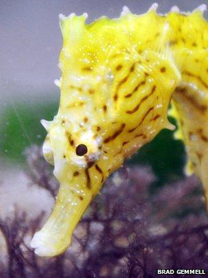 Dwarf seahorse