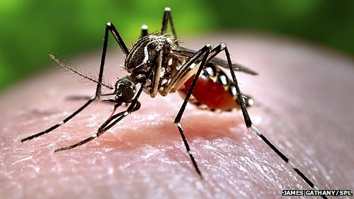 Dengue fever is spread by mosquitoes