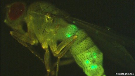 female fly shown in profile, with secretory cells labelled green