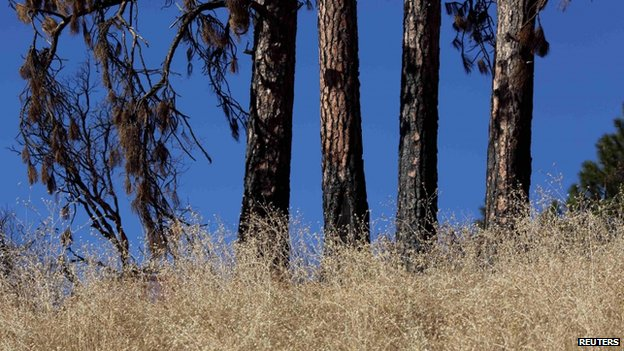 Dying grass and trees near Shasta Lake (23 January 2014)