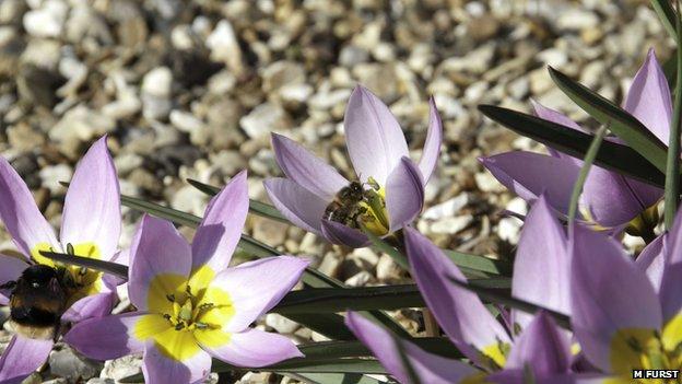 Honeybee and bumblebee
