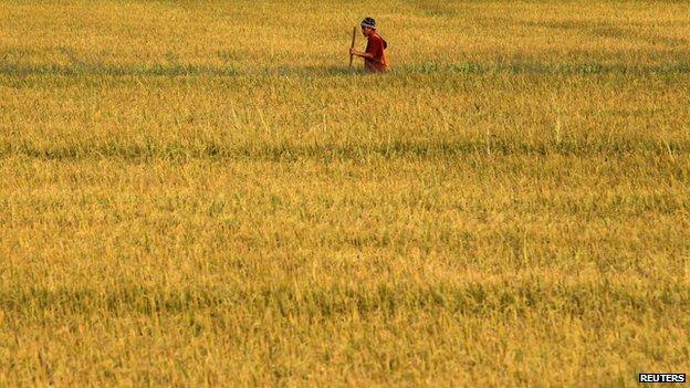 Thai farmer works in rice field