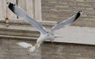 Gull attacking a dove in the VaticanPigeon Patrol, Pigeon Deterrent, bird control, pigeon control, bird repellent, bird proof, bird contrl, sound unit, netting bird, bird netting, spikes, pointy things, Ultra-Flex Bird Spikes, bird deterrent, bird spike, bird control, spikes, bird repellent spikes, bird deterrent spikes, steel bird spikes, bird netting, bird control, netting bird, bird repellent, pigeon control, bird proof, bird problems, bird proofing, bird repellers, bird control systems, anti bird, 1-877-4-no-bird, no bird, nobird, bird lazers, bird lasers bird lasers, sonic bird repellers, ultrasonic bird repellers, Get rid of pigeons, pigeon problems, pigeon control system, Keep Pigeons Off, Canada, USA, Manufacturer  bird control, Bird Control Products, bird deterrent, bird net, bird netting, bird removal, bird repellent, bird spike strips, bird spikes, birds off, building maintenance, Integrated Pest Supplies Ltd, Pest Control Products, New Westminster, BC,building maintenance birds, building maintenance tips, get rid of birds, how to get rid of birds, pigeon control, scare birds, stop bird, High frequencies, ultrasonic ,sonic , sound waves ,roof tops, ledges, balconies, buildings ,warehouses, bird sound deterrents, physical bird deterrents ,visual bird deterrents, disinfectant, Tubesonic, keep birds out, pest bird, how to get rid of bird, electric shock, bird deterrent system, keep birds away, pest bird problems, plastic bird spikes, scare birds, bird off get, suppliers of bird control, Integrated Pest Control, intergraded, intergratedpestsupplies, pigeon spikes, bird spikes, pigeon deterrent, get rid of pigeons, pigeon control, bird spike, pigeon deterrents, how to get rid of pigeons