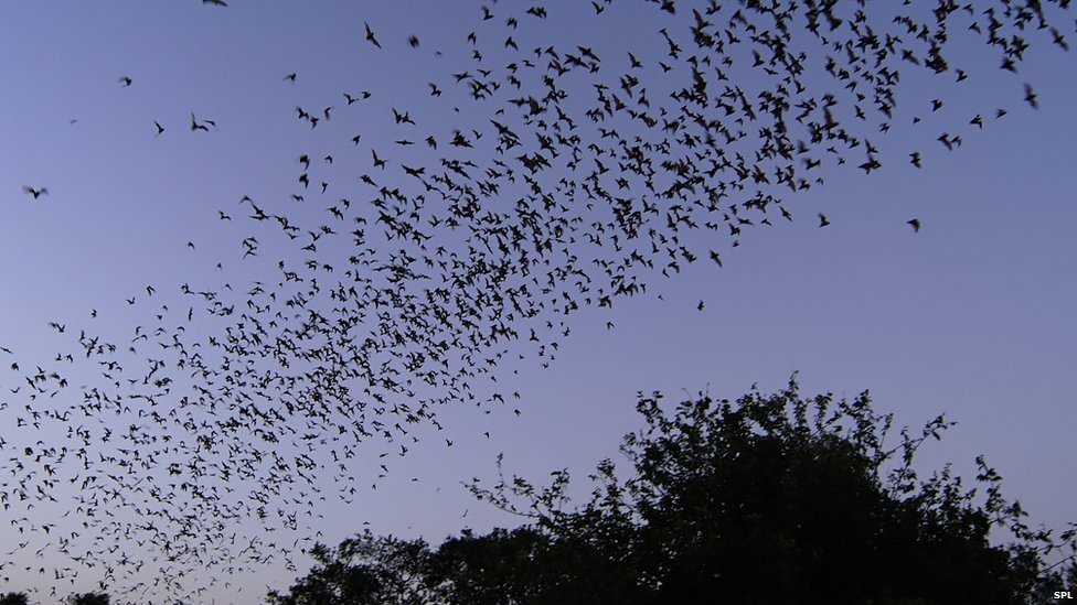 Cloud of Mexican Free-tailed Bats