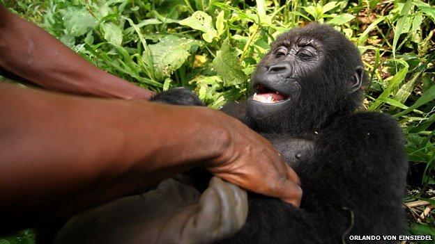 78846027 624virun pds 015 h Photos: The man with the adopted gorilla daughter