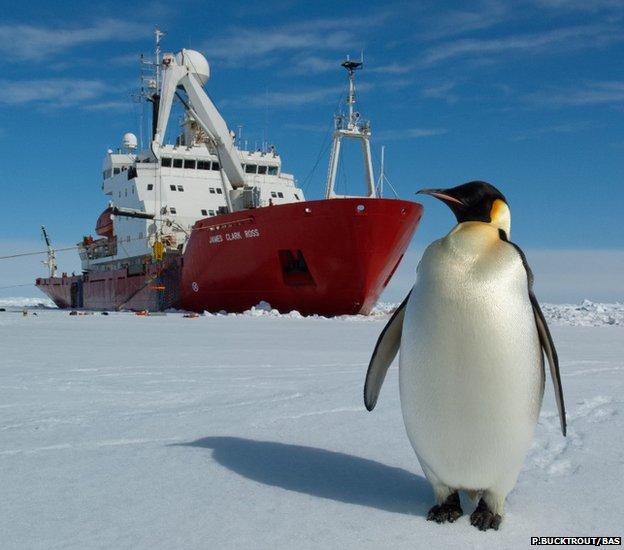 Emperor penguin on the sea ice