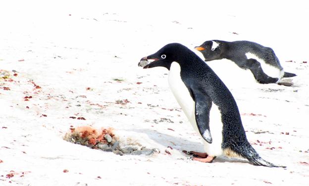 Penguin building a nest