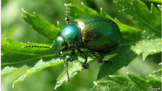 rare bugs