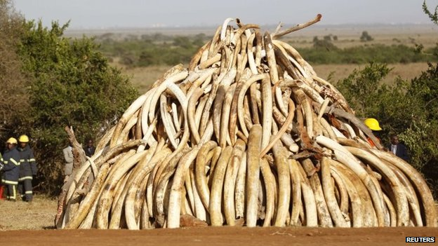 Ivory tusks in a pile waiting to be burned in Kenya - 3 March 2015