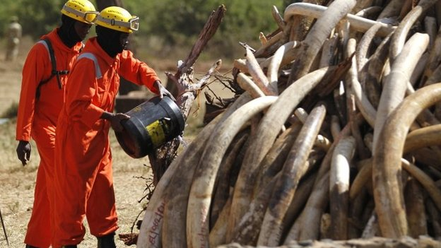 A Kenya Wildlife Service ranger pours petrol on 15 tonnes of ivory confiscated from smugglers and poachers ahead of burning it - 3 March 2015