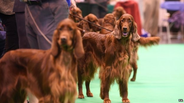 Irish Setters competing at Crufts