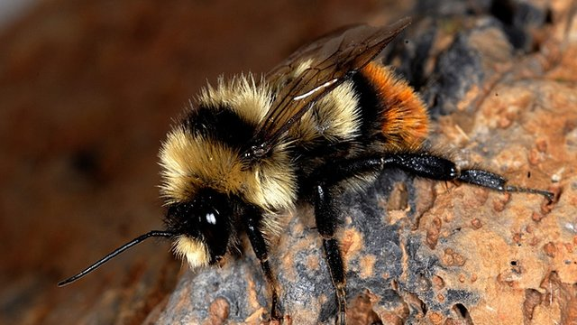 There are 1,965 bee species native to Europe