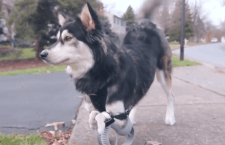 Dog receives prosthetics and runs for the first time