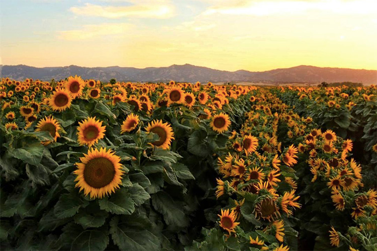 How Sunflowers Follow The Sun Berkeley News