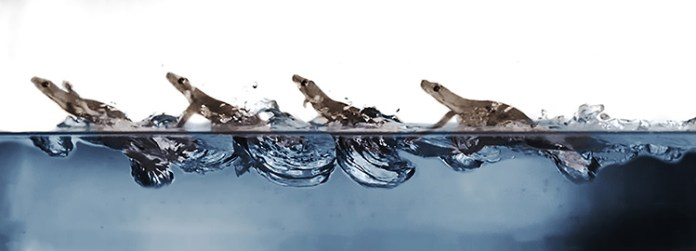 Acrobatic geckos can even race on water's surface