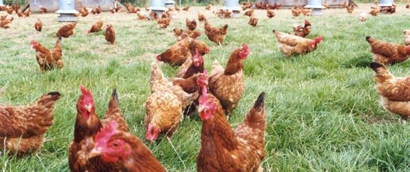 allevamento bio di galline