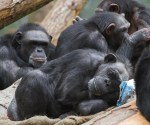 Chimpanzee talking to each other