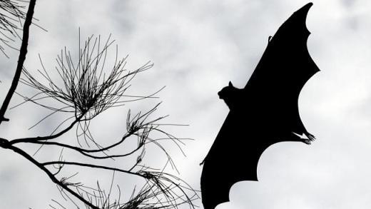 """蝙蝠频""""闯""""民宅 悉尼人要小心感染狂犬病毒! – 澳洲新闻 – 悉尼-澳洲唐人街"""