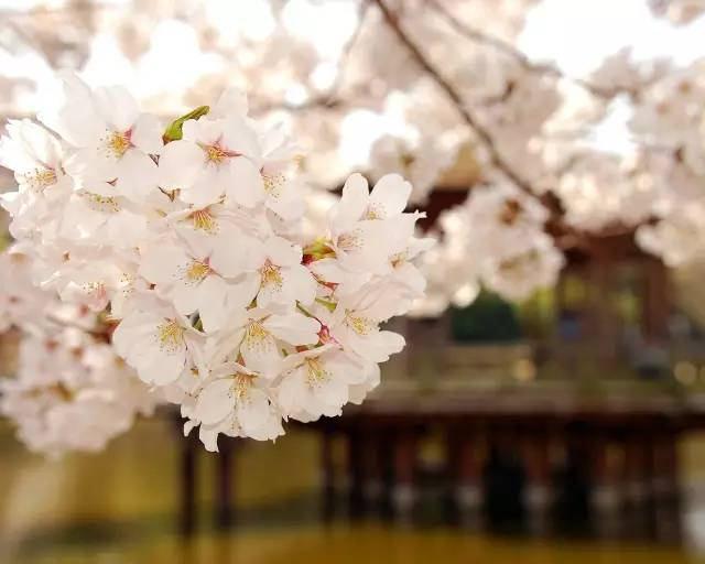 Usuku olulandelayo ngomso ngumnyhadala weCherry Blossom ~ A amaza enkulu yeMornington emnandi ingena ngaphakathi!