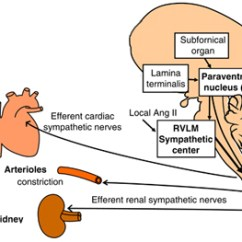 Lower Brain Diagram 2004 Ford F250 Radio Wiring Hypertension Traced To Source In Cornell Chronicle