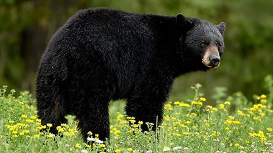 black bears on the