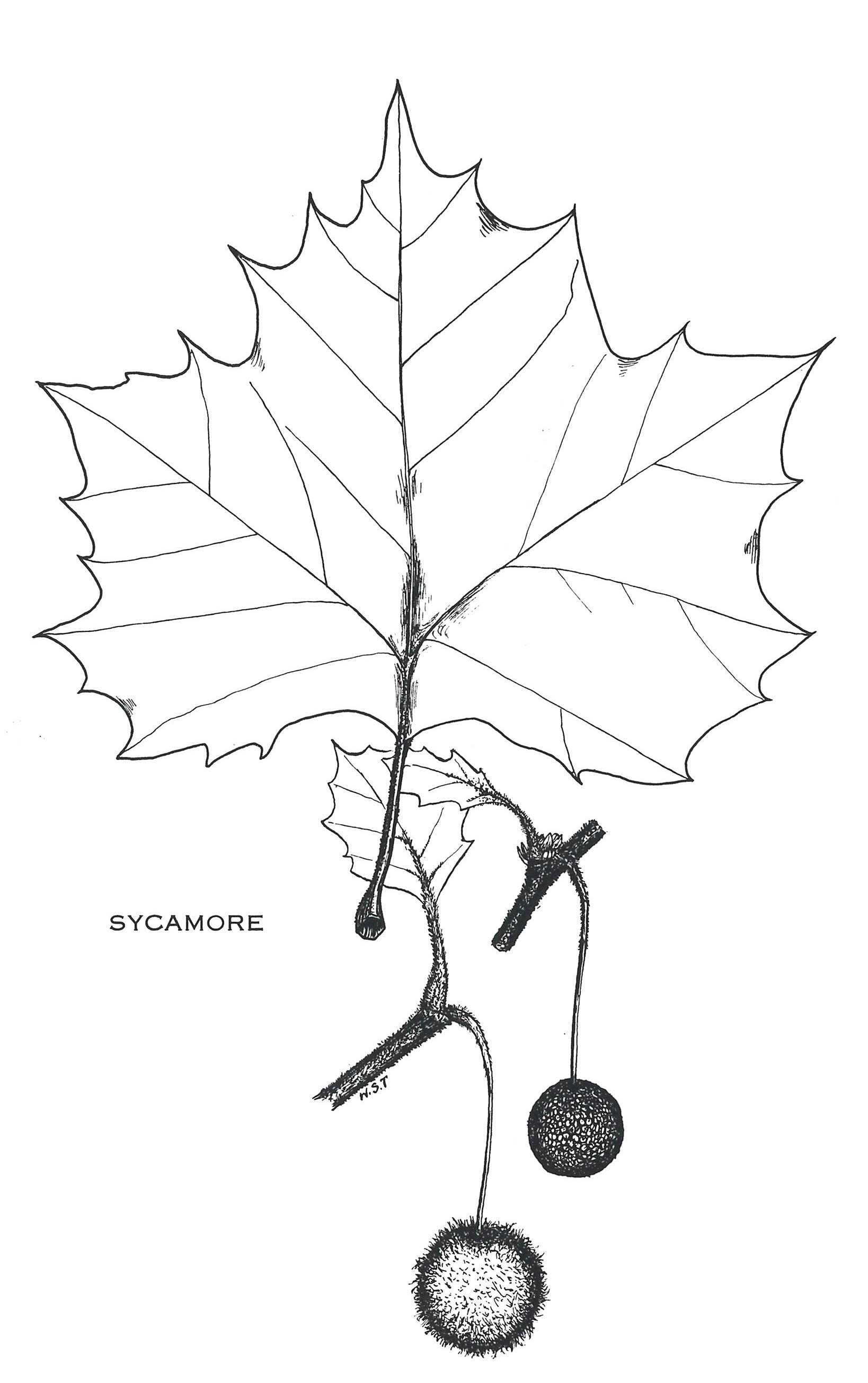 Delaware Forest Service Tree Health Update Sycamore