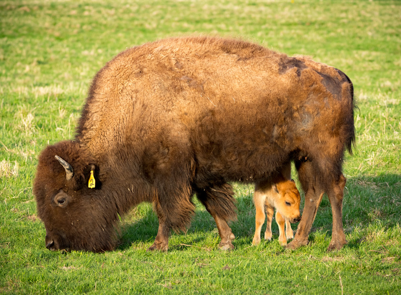 first baby bison of