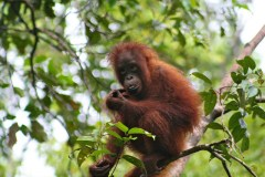 Lost habitats slash Borneo orangutan population by 100,000 in 16 years
