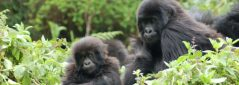 Critically endangered mountain gorilla population grows despite threats to forest habitat
