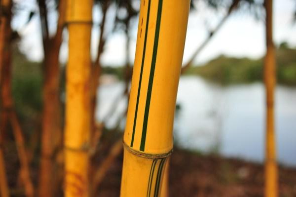 Bamboo in the Amazon rainforest, Brazil