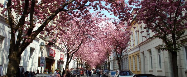 Bonn cherry blossoms