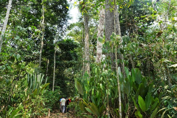 Castañal, Peru, an area known for Brazil nuts. Peru is among the countries with the highest amounts of tropical primary forest loss. Yoly Gutierrez, CIFOR