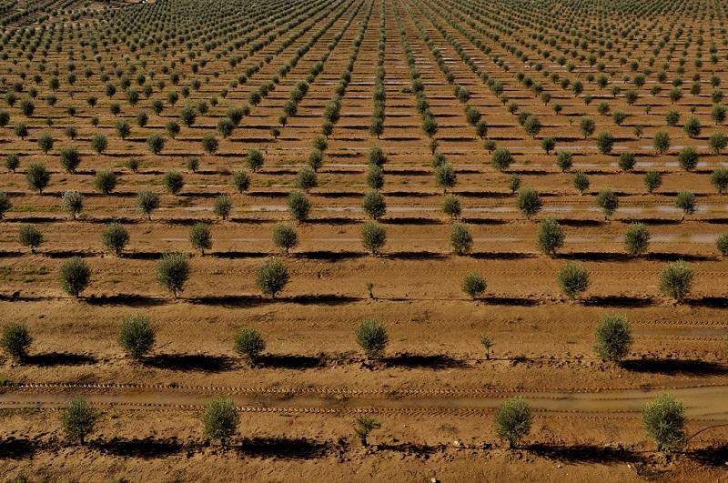 Olive plantation, Portugal