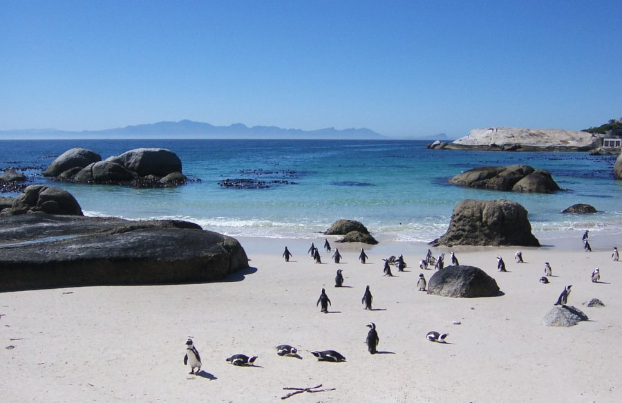 Penguins on a beach near Cape Town, South Africa. Francois de Halleux, Flickr