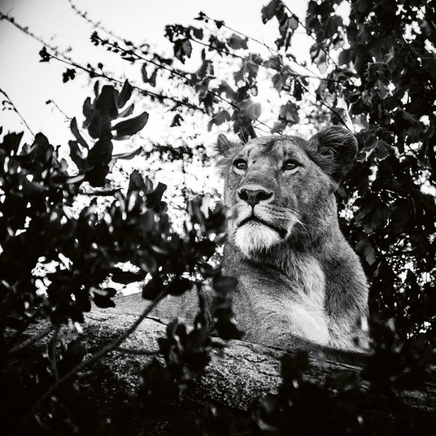 """Lioness scanning the horizon,"" Tanzania 2018 Photo © 2019 Laurent Baheux. All rights reserved."