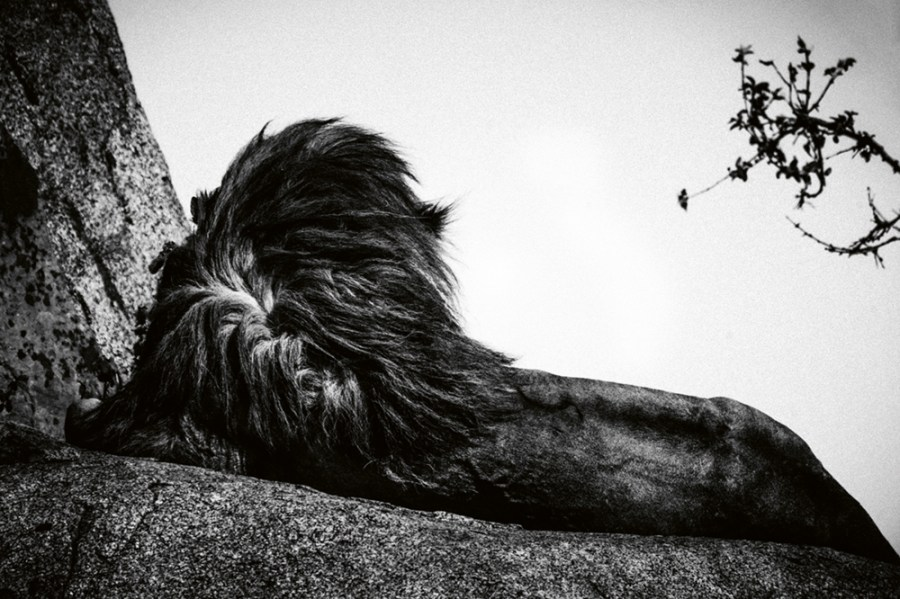 """""""Back of the lion,"""" Tanzania, 2018. Photo © 2019 Laurent Baheux. All rights reserved."""