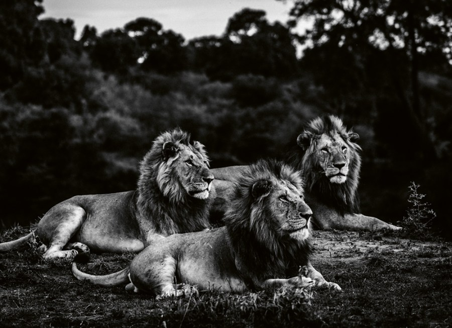 """Three brothers after sunset,"" Kenya 2019 Photo © 2019 Laurent Baheux. All rights reserved."