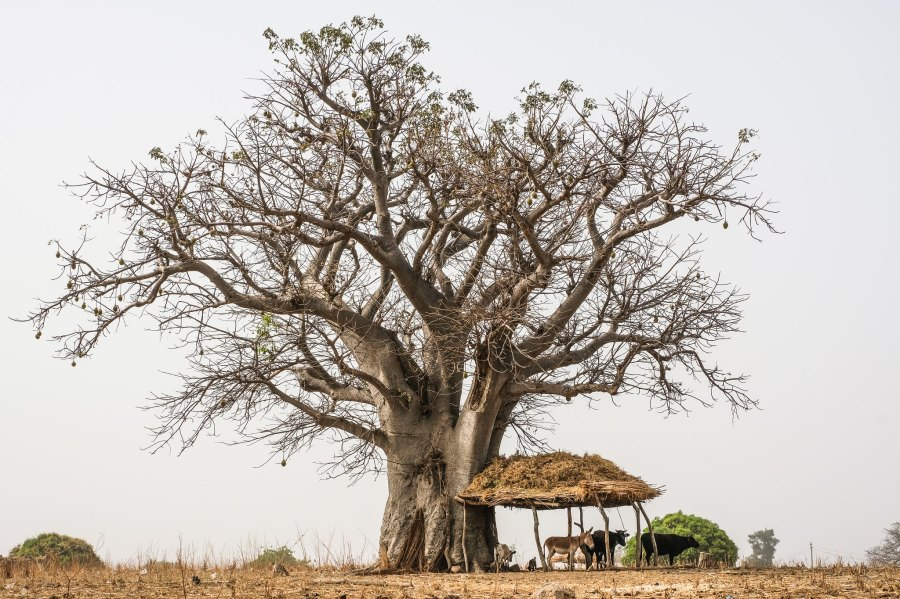 Cows under a baobab tree near Wambio near the northern border of Ghana. Axel Fassio, CIFOR
