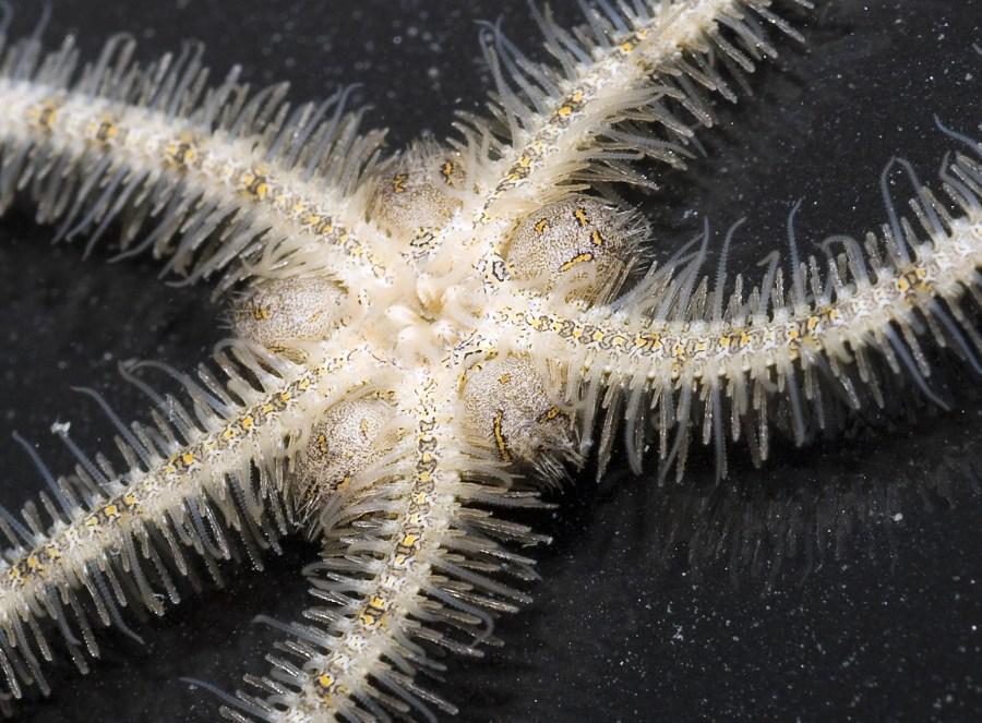 A botlebrush Brittle Star. Ria Tan, Flickr