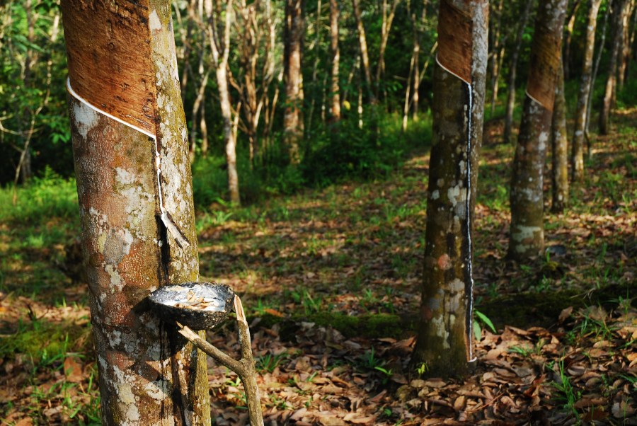 Trees tapped in a rubber plantation in Central Kalimantan in Indonesian Borneo, where agriculture is increasingly coming in line with nature conservation. Ryan Woo, CIFOR