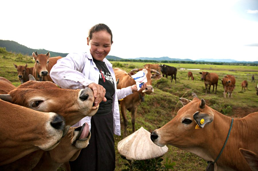 A Laotian herder feeds her livestock salt, a daily dietary requirement of mature cattle. Stevie Mann, ILRI