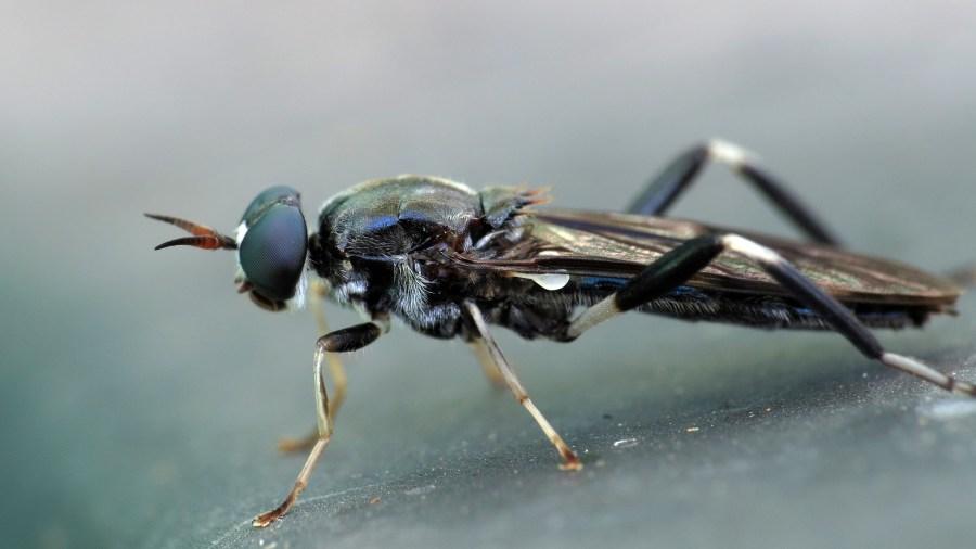 A garden soldier fly on compost. John Tann, Flickr