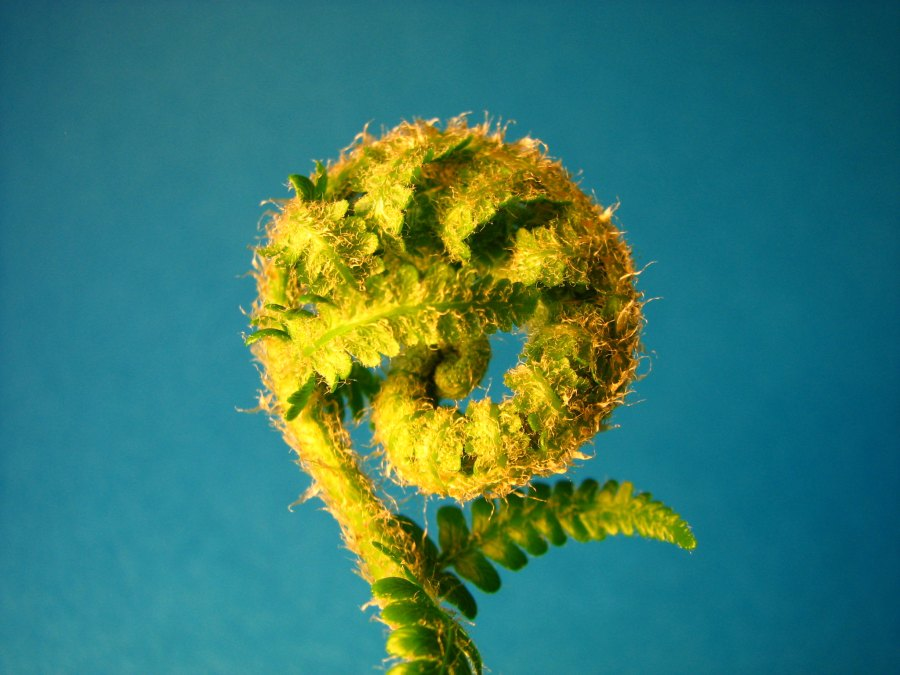 The fractal patterns of a spiraled fern. fdecomite, Flickr
