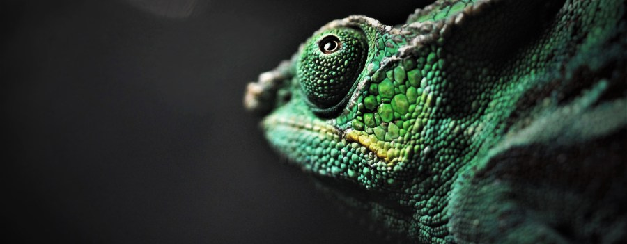 A panther chameleon, found in the tropcial forests of Madagascar. Renee Grayson, Flickr