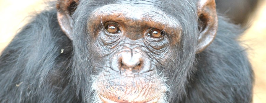 A chimpanzee in Gombe National Park, the site of Jane Goodall's research. Afrika Force, Flickr