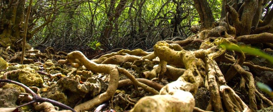 Raíces de los bosques de manglares a lo largo de la costa en el Parque Nacional de Bali Occidental en Indonesia. La nación archipiélago alberga casi un cuarto de todos los manglares del mundo. Aulia Erlangga, CIFOR